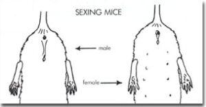 Geslacht van een muis