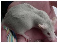 Zwangere muis