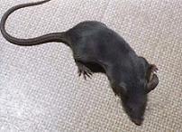 blauwe muis