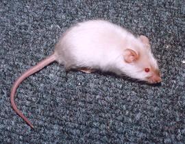 langharige muis